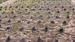 田間種植的藏紅花