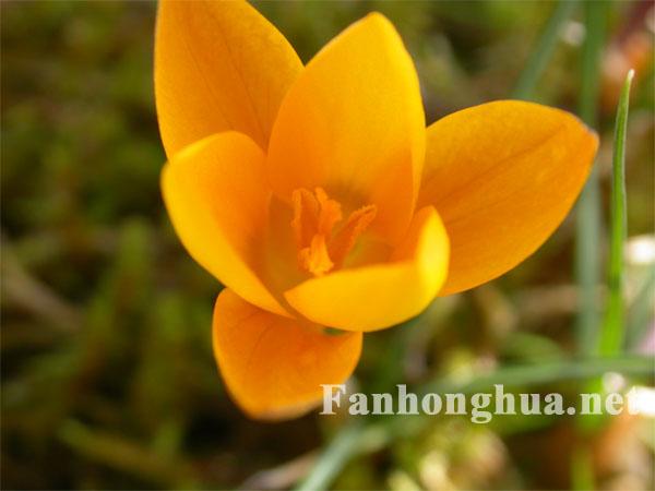 黃色番紅花