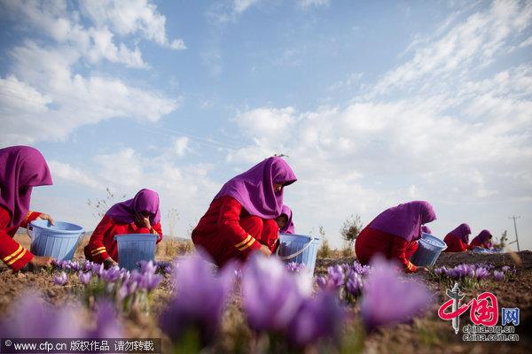 看世界:阿富汗美丽的藏红花