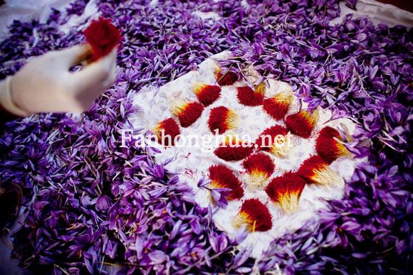 阿富汗花农刚剥出的新鲜藏红花花丝