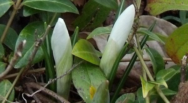 含苞待放的白色番紅花