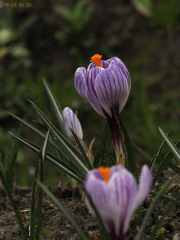 老蔣草木園之番紅花