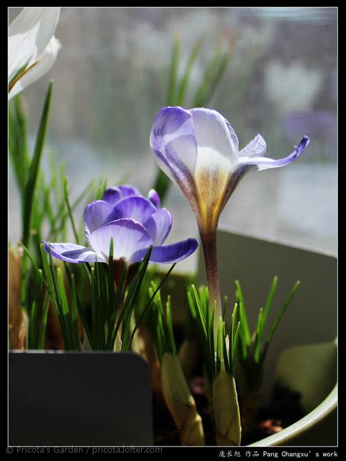 """番紅花""""藍珍珠"""""""