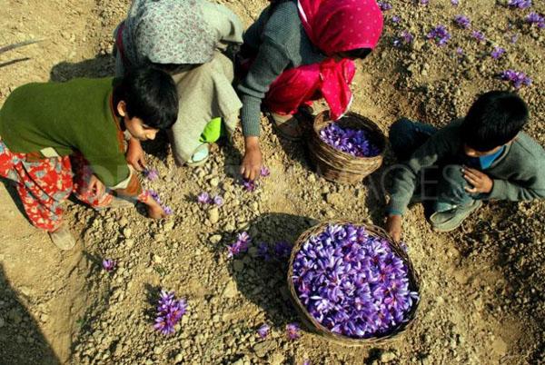 克什米爾農民采摘藏紅花