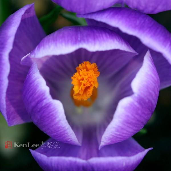 李堅能的影像人生:春天的喜悅–番紅花