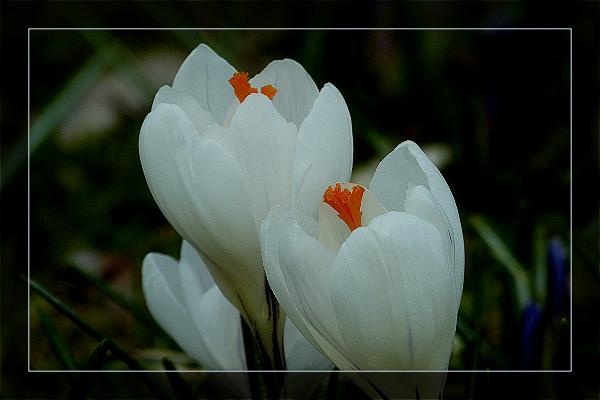 網友銅山拍攝的番紅花