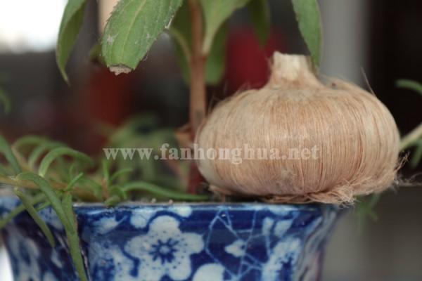 花盆與藏紅花球莖