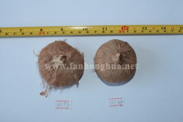 測量40多克的藏紅花球莖、藏紅花種球的直徑
