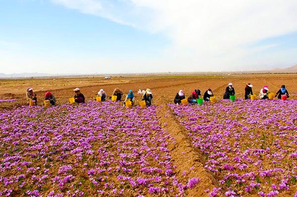 伊朗呼羅珊省花農采摘藏紅花