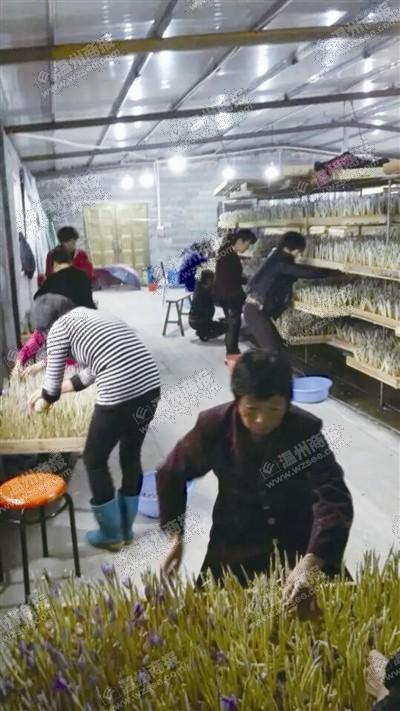 乐清大荆湖雾社区花农采摘藏红花