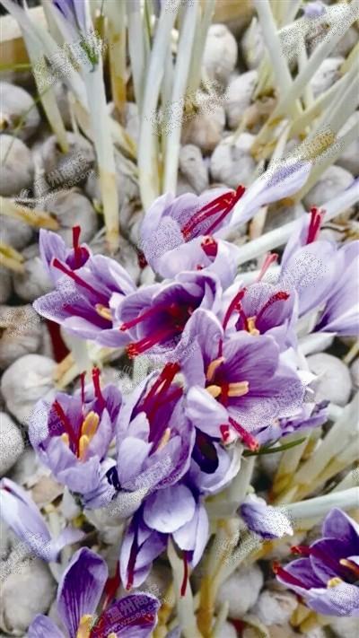 乐清大荆湖雾社区的藏红花盛开