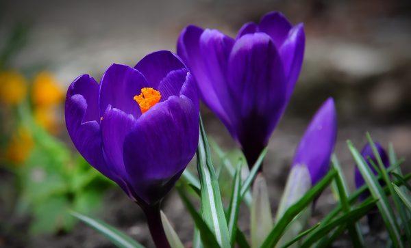 电影中蓝紫色番红花的原型