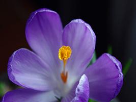漂亮的紫色番紅花(7P)