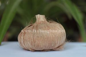 藏红花球茎藏红花种球高清图片