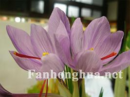 盛开的藏红花(5P)