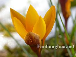 黄色番红花(7P)