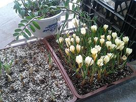 网友心莲一阳台上种的番红花(4P)