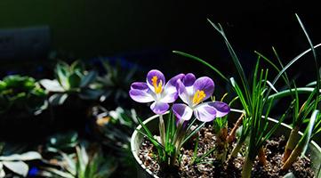 盆栽番红花(14P)