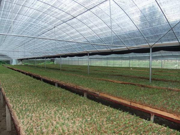 石斛種植大棚