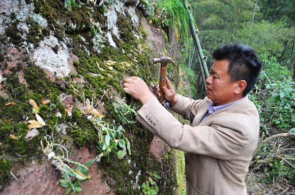 石斛贴石栽种法