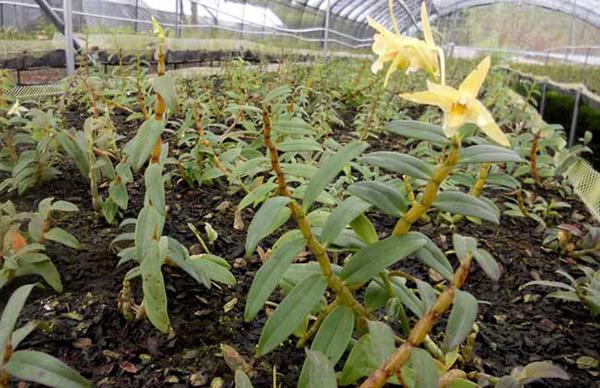 石斛荫棚栽种法