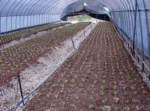 石斛蔭棚栽種法