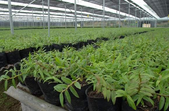 石斛花盆繁殖法