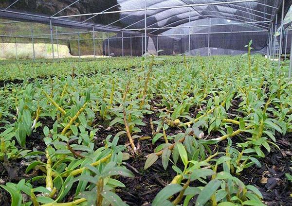 铁皮石斛栽培