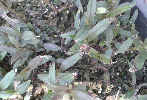 鐵皮石斛褐斑病