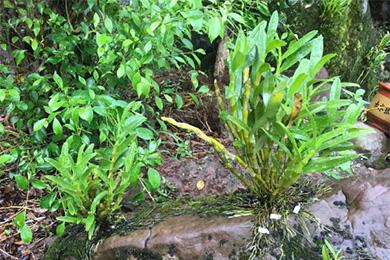金钗石斛栽培管理的技术要点