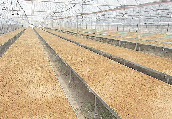 鐵皮石斛的苗床