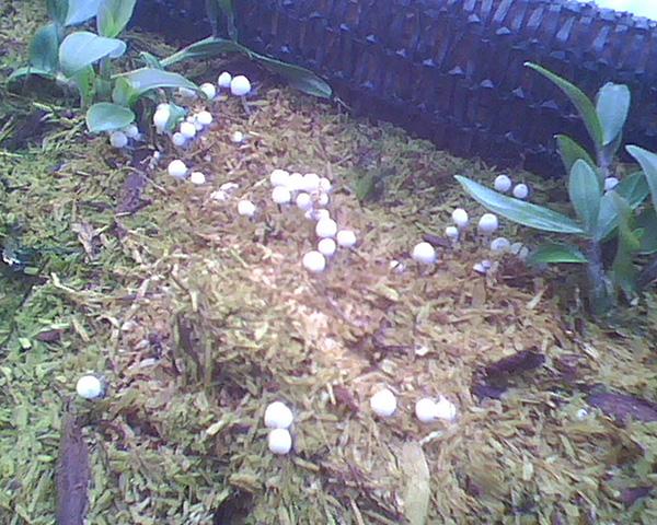 铁皮石斛苗床长蘑菇
