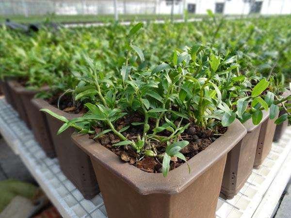 種植鐵皮石斛