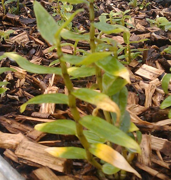铁皮石斛叶子发黄