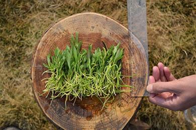 如何判断铁皮石斛种苗的好坏