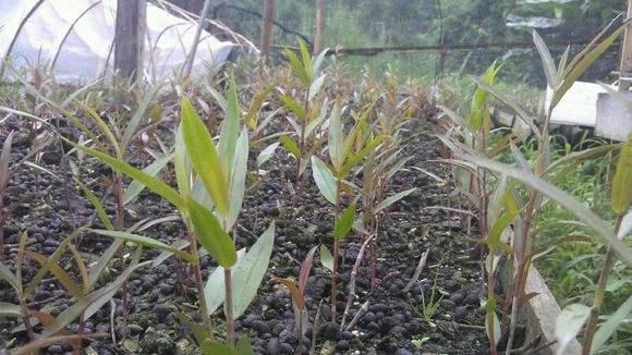 紫皮石斛苗