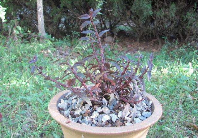盆栽紫皮石斛