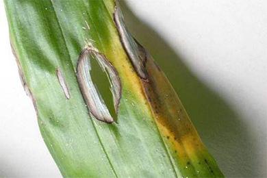 石斛黑腐病的症状有哪些?铁皮石斛黑腐病的防治方法