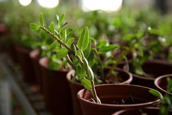 铁皮石斛盆栽