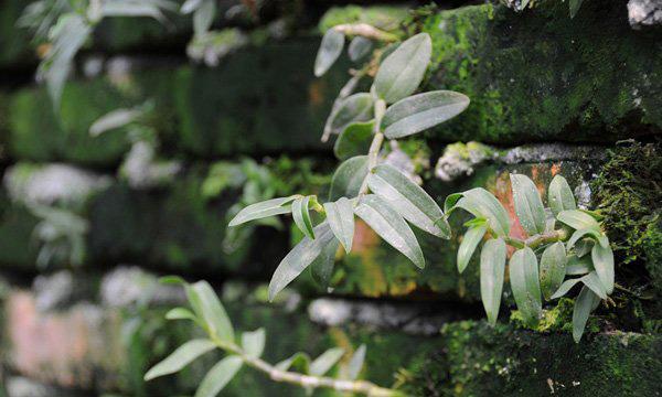 砖缝里生长的铁皮石斛