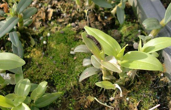 石斛斜紋夜蛾幼蟲正在吃石斛葉子