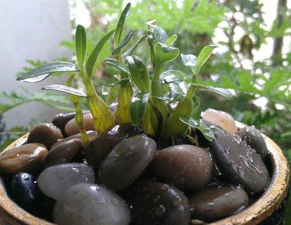 陽臺盆栽石斛