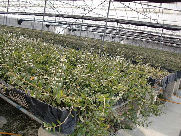 铁皮石斛种植