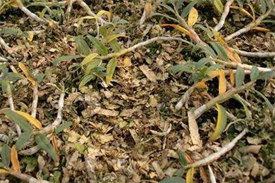 铁皮石斛种植过程中掉叶子的原因有哪些