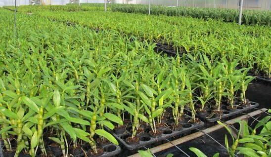 苗盤種植的鐵皮石斛