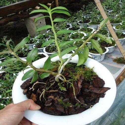 利用樹皮作為鐵皮石斛的生長基質