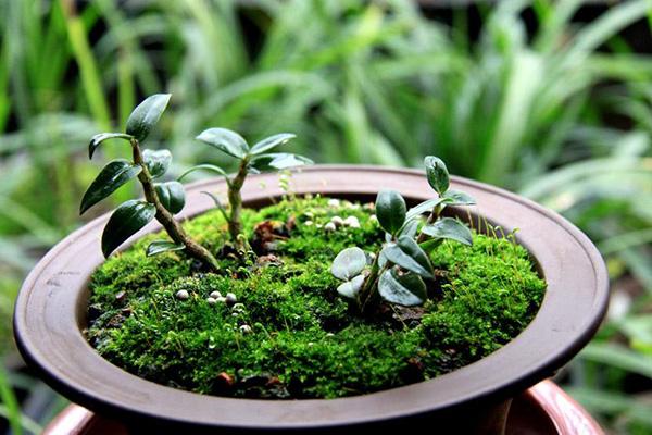 利用苔蘚作為鐵皮石斛的生長基質