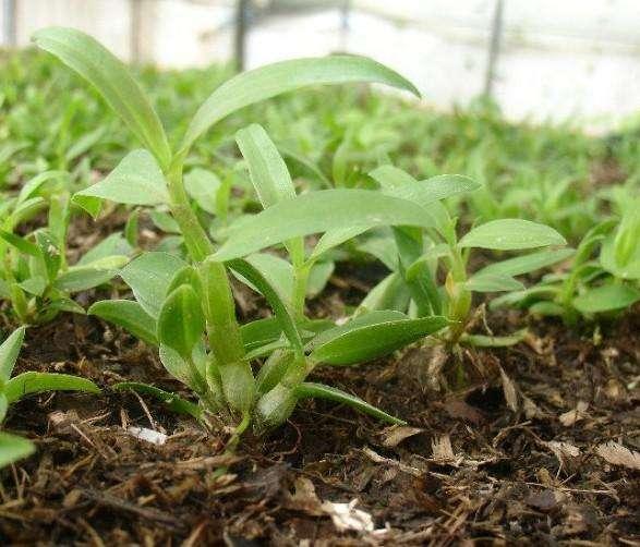 利用木屑作為鐵皮石斛的生長基質