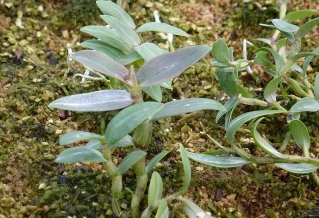 施肥后的铁皮石斛生长旺盛