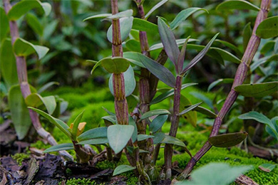 铁皮石斛主要病虫害防治方法